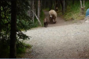 Grizzly Bears Follow Hiker on Alaska Trail