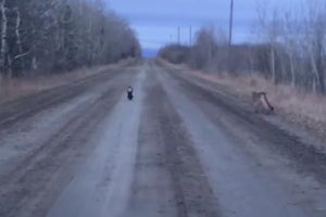 Watch: Skunk Chases Off Cougar