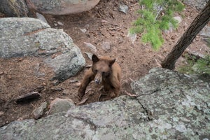Bear Surprises Climbers, Eats Their Chalk