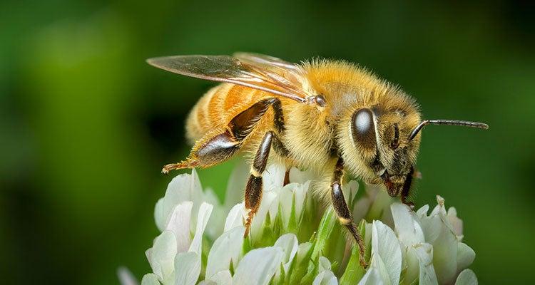 insectos no comestibles - abejas y avispas