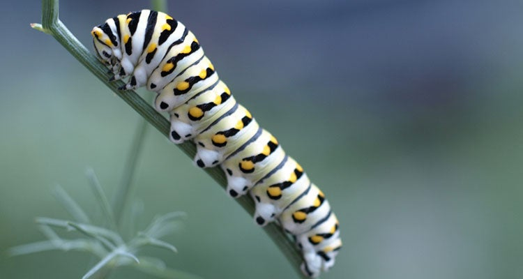 insectos no comestibles - orugas