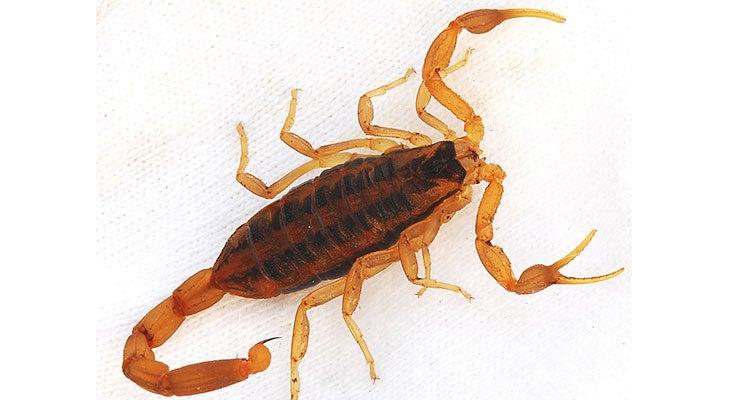 insectos comestibles - escorpiones