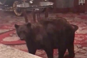 Watch: Bear Visits The Shining Hotel